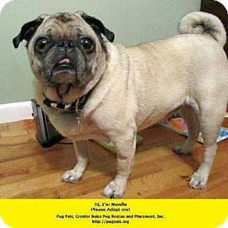 Pug Dog for adoption in Eagle, Idaho - Noodle