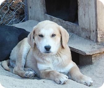 Labrador Retriever/Collie Mix Puppy for adoption in Tunbridge, Vermont - Jasper