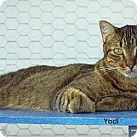 Adopt A Pet :: Yadi - St Louis, MO