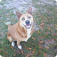Adopt A Pet :: Honey Bear - Williston, FL