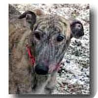 Adopt A Pet :: Sun Devil - Roanoke, VA