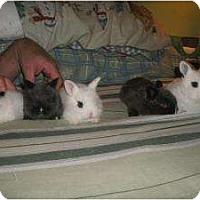 Adopt A Pet :: October Baby Bunnies - Long Valley, NJ