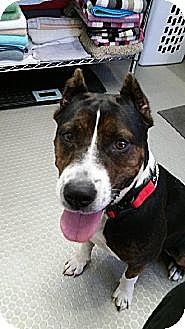 American Pit Bull Terrier Mix Dog for adoption in Bertram, Texas - Zelda