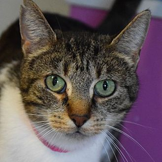 Domestic Shorthair Cat for adoption in Huntley, Illinois - Hawaii