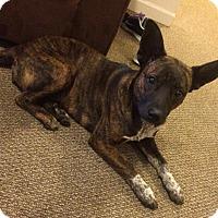 Adopt A Pet :: Francie - Brattleboro, VT