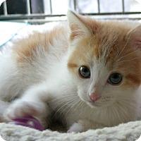 Adopt A Pet :: Daphne - Sherman Oaks, CA