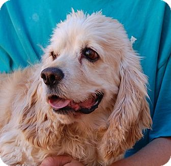 Cocker Spaniel Mix Dog for adoption in Las Vegas, Nevada - Mauricio