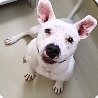 Pit Bull Terrier Mix Dog for adoption in Hendersonville, North Carolina - Aspen