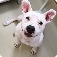 Pit Bull Terrier Mix Dog for adoption in Hendersonville, North Carolina - Aspen
