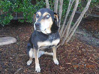 German Shepherd Dog/Rottweiler Mix Dog for adoption in haslet, Texas - osa