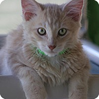 Domestic Shorthair Kitten for adoption in North Fort Myers, Florida - Roo