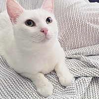 Adopt A Pet :: Blossom - Chino Hills, CA