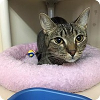 Domestic Shorthair Cat for adoption in Fort Collins, Colorado - Tango