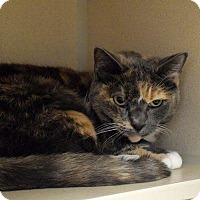 Domestic Shorthair Cat for adoption in Denver, Colorado - Katy