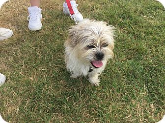 Lhasa Apso Mix Dog for adoption in Lockhart, Texas - Roper