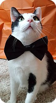 Domestic Shorthair Cat for adoption in Addison, Illinois - Cottonelle