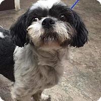 Adopt A Pet :: Torrie - Whitestone, NY