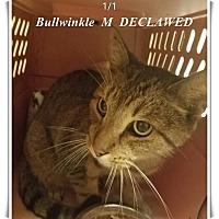 Adopt A Pet :: Bullwinkle - Brandon, FL