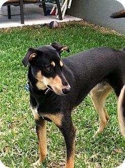 Doberman Pinscher Mix Dog for adoption in Clermont, Florida - Dodger