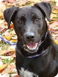 Labrador Retriever/English Pointer Mix Dog for adoption in Red Bluff, California - Traylor