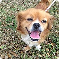 Adopt A Pet :: Ginger - Davie, FL