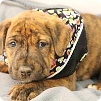 Adopt A Pet :: Nick - South Jersey, NJ