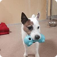 Adopt A Pet :: Jack Brat - Rhinebeck, NY