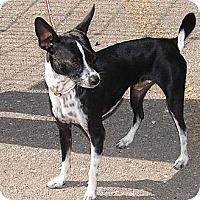 Adopt A Pet :: Chico - Hurricane, UT