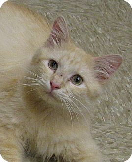 Domestic Mediumhair Cat for adoption in Tulsa, Oklahoma - OJay