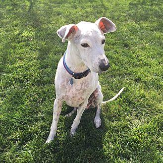 Italian Greyhound/Terrier (Unknown Type, Medium) Mix Dog for adoption in St. Charles, Illinois - BonBon