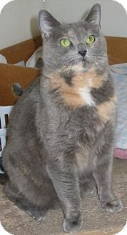 Calico Cat for adoption in Jamaica Plain, Massachusetts - Kenosha