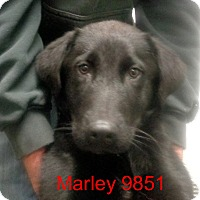 Adopt A Pet :: Marley - baltimore, MD