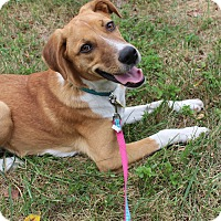 Adopt A Pet :: Pippin - Waldorf, MD