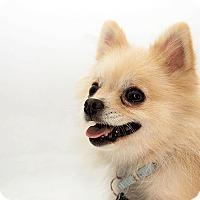 Adopt A Pet :: Kota - Cumberland, MD