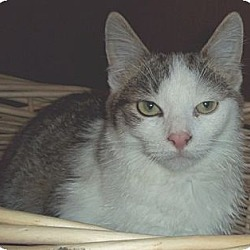 Photo 1 - Domestic Shorthair Cat for adoption in Brookville, Indiana - Arnie