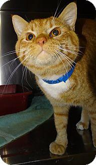 Domestic Shorthair Cat for adoption in Brooksville, Florida - MATT