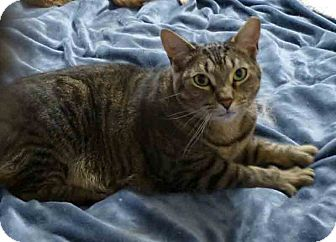Domestic Shorthair Cat for adoption in Gaithersburg, Maryland - Phantom