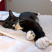Domestic Shorthair Cat for adoption in Long Beach, California - ZigZag