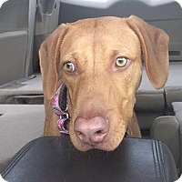 Adopt A Pet :: Lyla - Rolling Hills Estates, CA