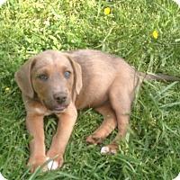 Adopt A Pet :: Major - Snohomish, WA