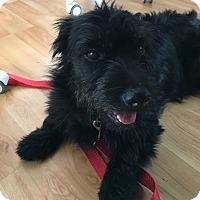Adopt A Pet :: Merlot - Encino, CA