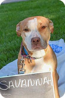 Pit Bull Terrier Mix Dog for adoption in Dayton, Ohio - Savannah Bee
