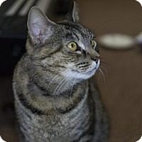 Domestic Shorthair Cat for adoption in Harrisonburg, Virginia - Ripley