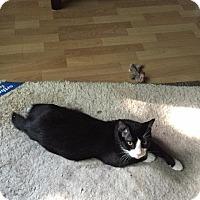 Manx Cat for adoption in Valley Park, Missouri - Stublet f/n/a Sly Boy