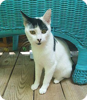 Domestic Shorthair Kitten for adoption in New York, New York - Jaxon