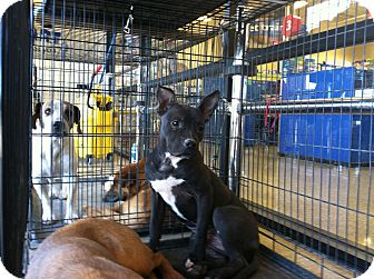 Pit Bull Terrier/French Bulldog Mix Puppy for adoption in Las Vegas, Nevada - Pinky