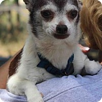 Chihuahua Mix Dog for adoption in Westminster, Colorado - Grandpa