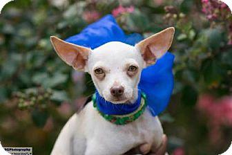 Chihuahua Mix Puppy for adoption in Santa Fe, Texas - Duke of Earl