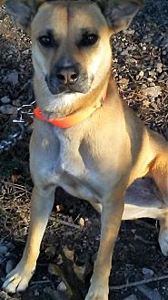 Labrador Retriever/Terrier (Unknown Type, Medium) Mix Dog for adoption in Dale, Indiana - Bess