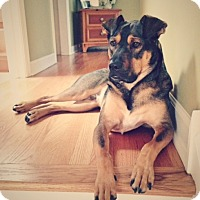 Shepherd (Unknown Type) Mix Dog for adoption in Schaumburg, Illinois - Gunner
